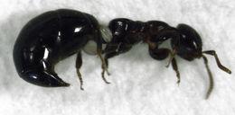 Image of <i>Sclerodermus niveifemur</i>