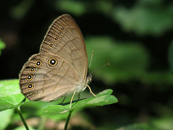 Image of Appalachian Brown