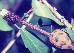 Image of Hibiscus Harlequin Bug