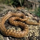 Image of Southern Smooth Snake