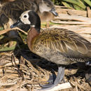 Image of White-faced Whistling-Duck