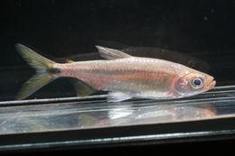 Image of <i>Brycinus sadleri</i> (Boulenger 1906)