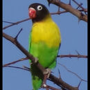 Image of Yellow-collared Lovebird