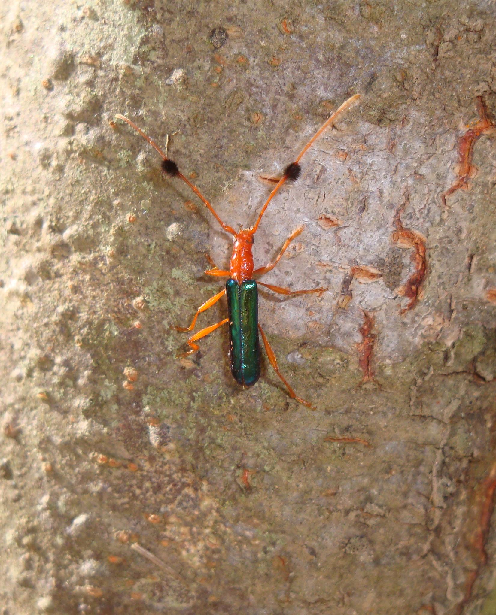 Image of <i>Paromoeocerus barbicornis</i>