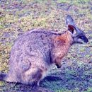 Image of Black-striped Scrub Wallaby