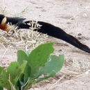 Image of Broad-tailed Paradise Whydah
