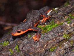 Image of Redbelly Newt