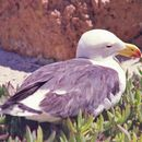 Image of Pacific Gull