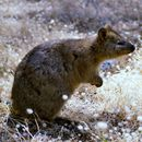 Image of Quokka