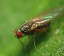 Image of Pomace fly
