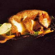 Image of Herbert River Ringtail Possum