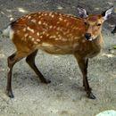 Image of Japanese Sika Deer
