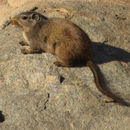 Image of Dassie rat