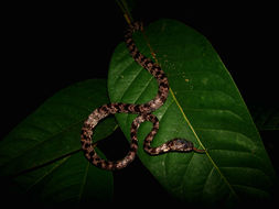 Image of Cloudy Snail-eating Snake