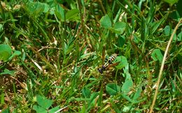 Image of European Paper Wasp