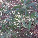 Image of European olive