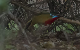 Image of African Pitta