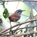 Image of Gray-breasted Wood-Wren