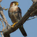 Image of Red-necked falcon