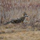 Image of Brush Wolf