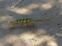 Image of Panther Chameleon