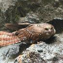 Image of Oilbird