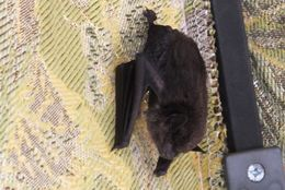 Image of Black myotis