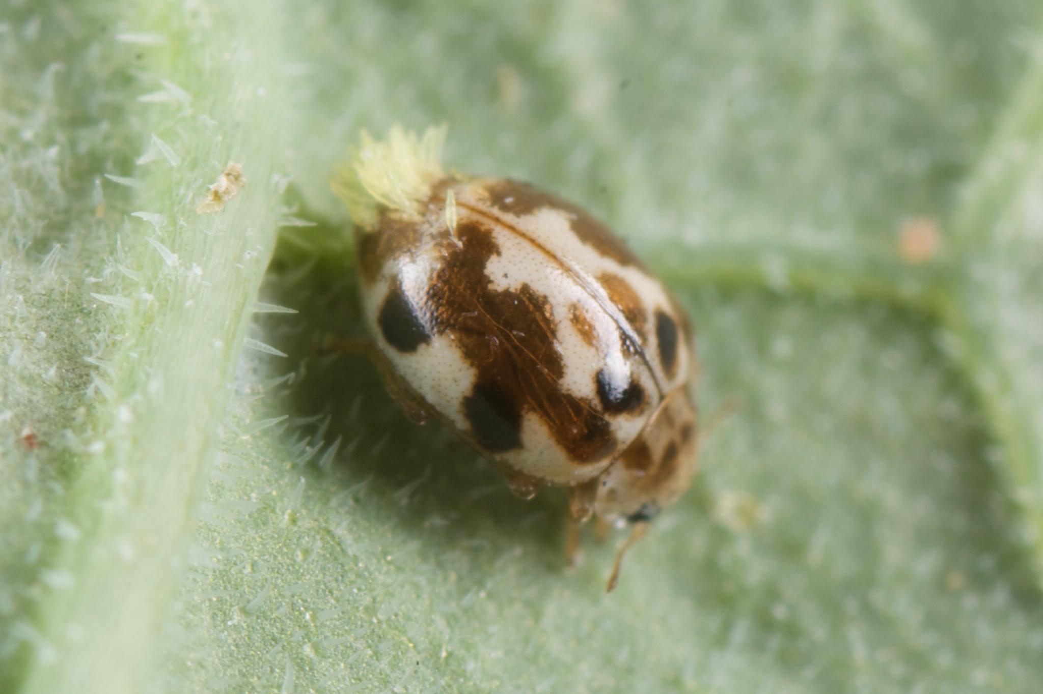 Image of Ladybird beetle