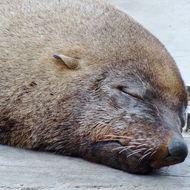 Image of Cape fur seal