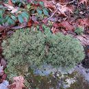 Image of <i>Cladonia rangiferina</i>