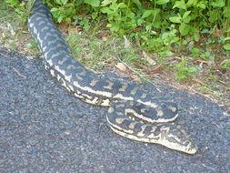 Image of Carpet Python
