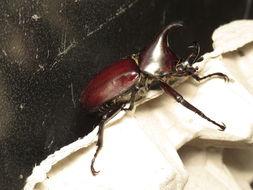 Image of <i>Xylotrupes ulysses</i> (Guerin-Meneville 1830)