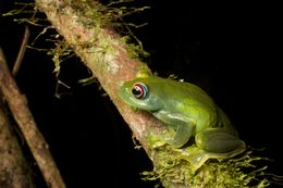 Image of Ankafana Bright-eyed Frog