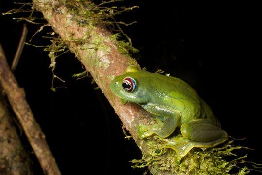 Image of Ankafana Bright-eyed Frog