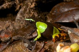 Image of Baron's Mantella