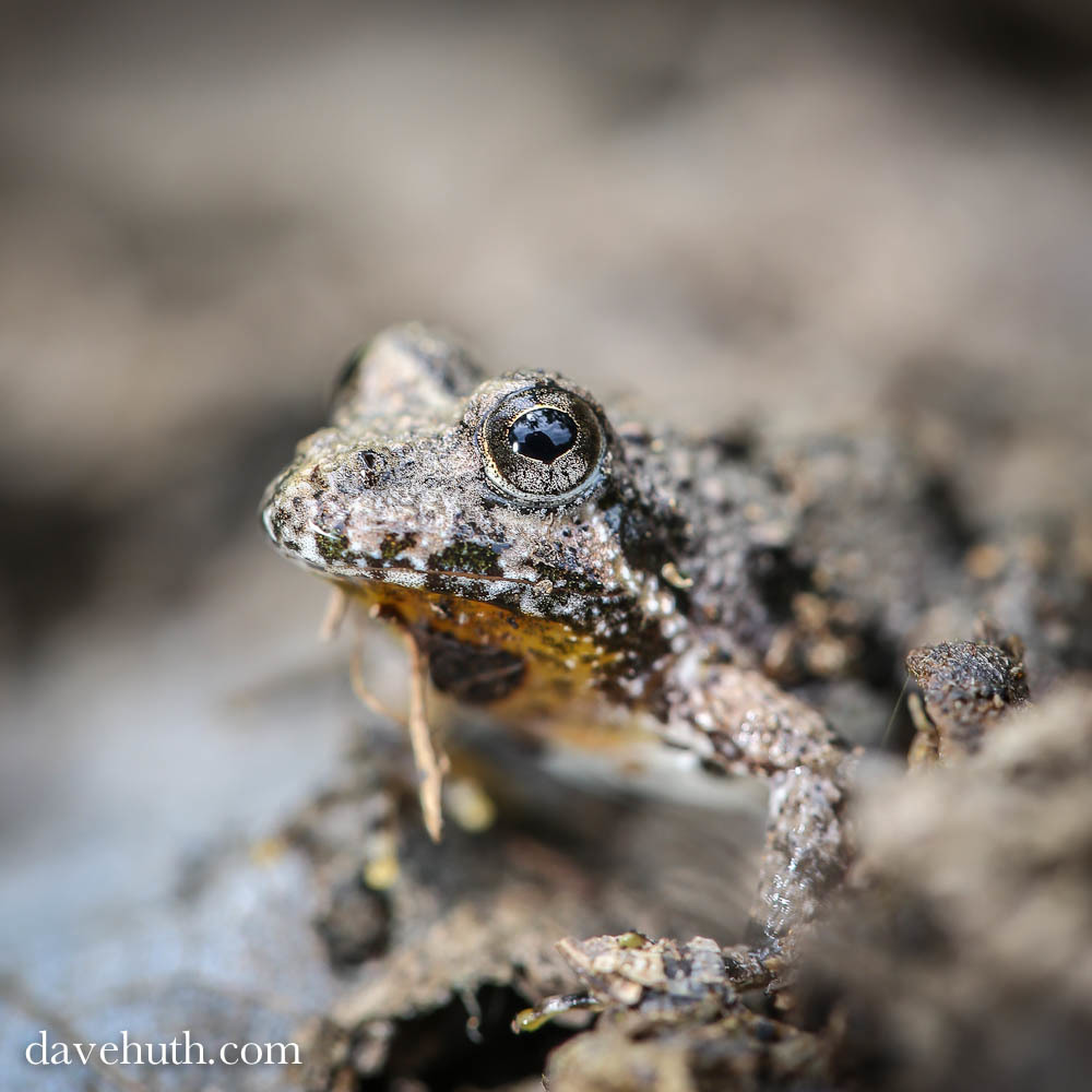 Image of Northern Cricket Frog