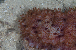 Image of Night-Wandering Sea Cucumber