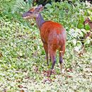 Image of Central American Red Brocket Deer