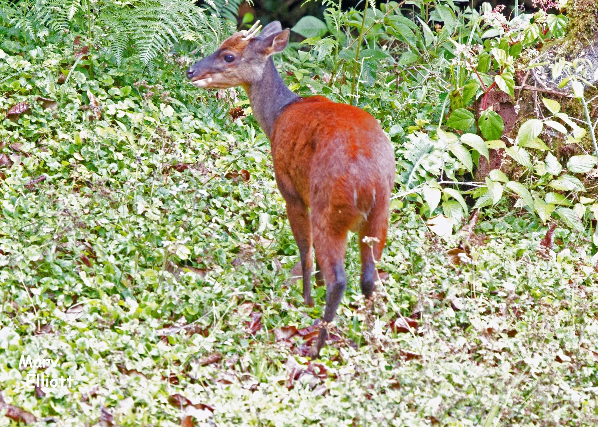 Central American Red Brocket Deer - Encyclopedia of Life