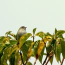 Image of Paltry Tyrannulet