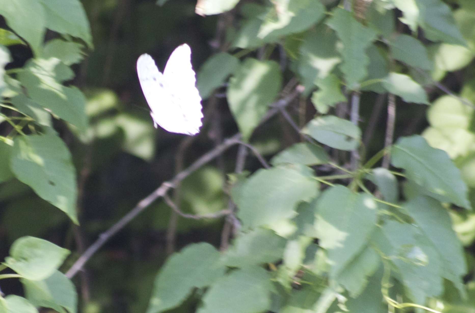 Image of White Morpho