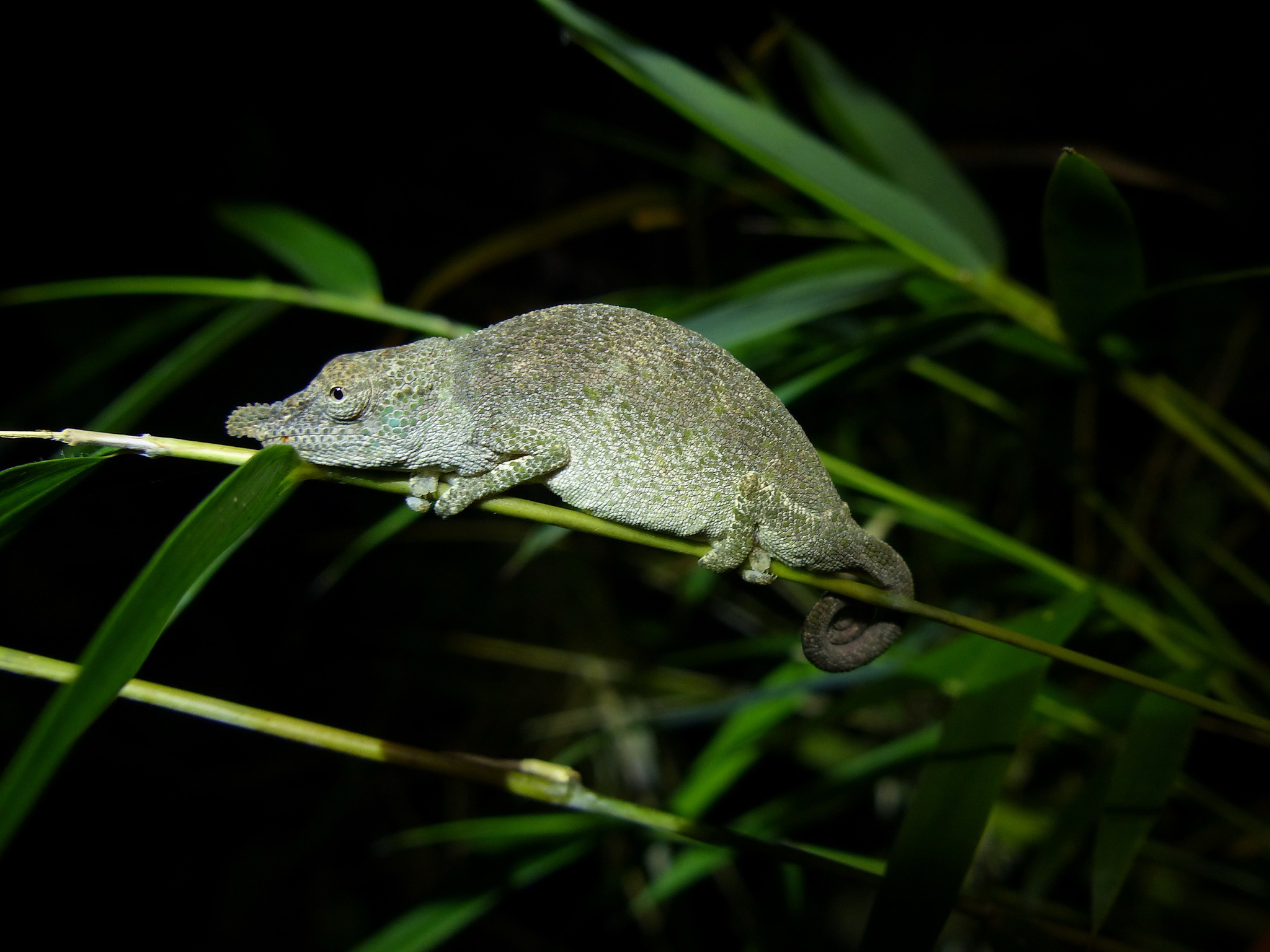 Image of Big-nosed chameleon