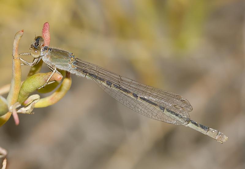 Image of Desert Forktail