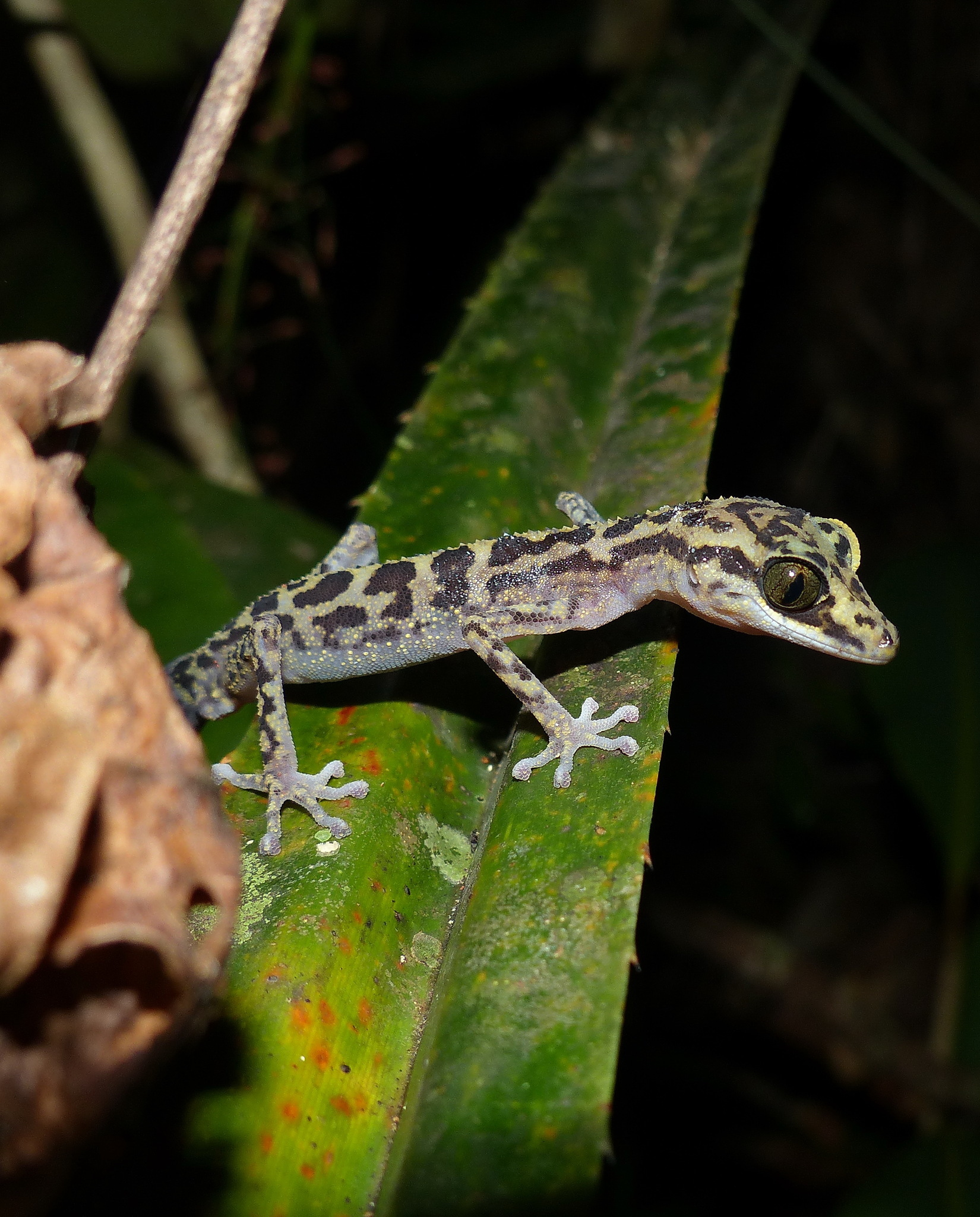 Image of Graceful Madagascar Ground Gecko