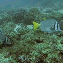 Image of Yellowtail Surgeonfish