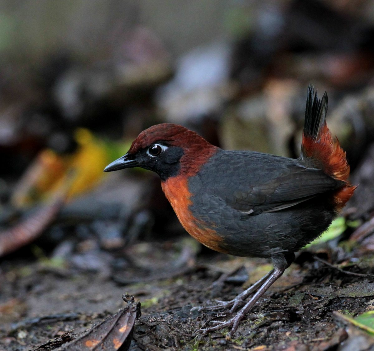 Image of Rufous-breasted Antthrush