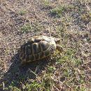 Image of Hermann's tortoise