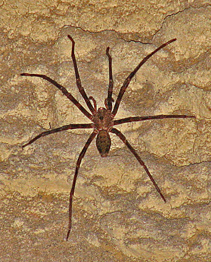 Image of Nelson Cave Spider