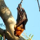 Image of Little red flying fox