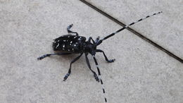 Image of Citrus long-horned beetle